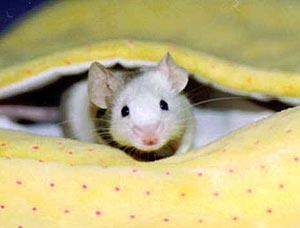 Если приснилась мышь что ее поймал кот