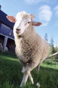 Жила-была одна овца, Скромнейшая из травоядных.  Хранила девство и престиж, И дел чуралась...